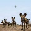 Balthazar - Fever - LP -